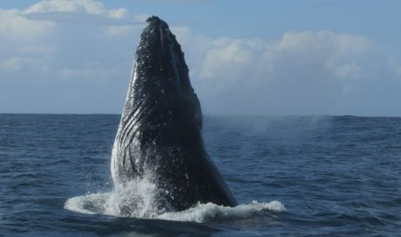 AGE ESTIMATION IN HUMPBACK WHALES BY ANALYSIS OF DNA METHYLATION