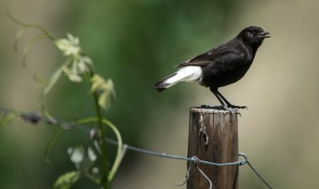 USING METABARCODING TO STUDY THE DIET OF A GENERALIST PASSERINE: THE BLACK WHEATEAR