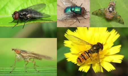 The InBIO Barcoding Initiative Database: DNA barcodes of Portuguese Diptera_01