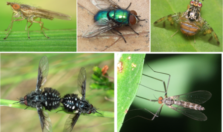 FILLING THE GAP: DNA BARCODE OF PORTUGUESE DIPTERANS